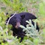 A wildlife do Canadá – como ver ursos na natureza