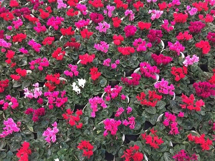 Holambra, a cidade das flores